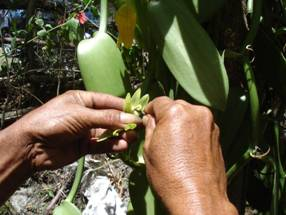Vanilla Orchis being hand pollinated